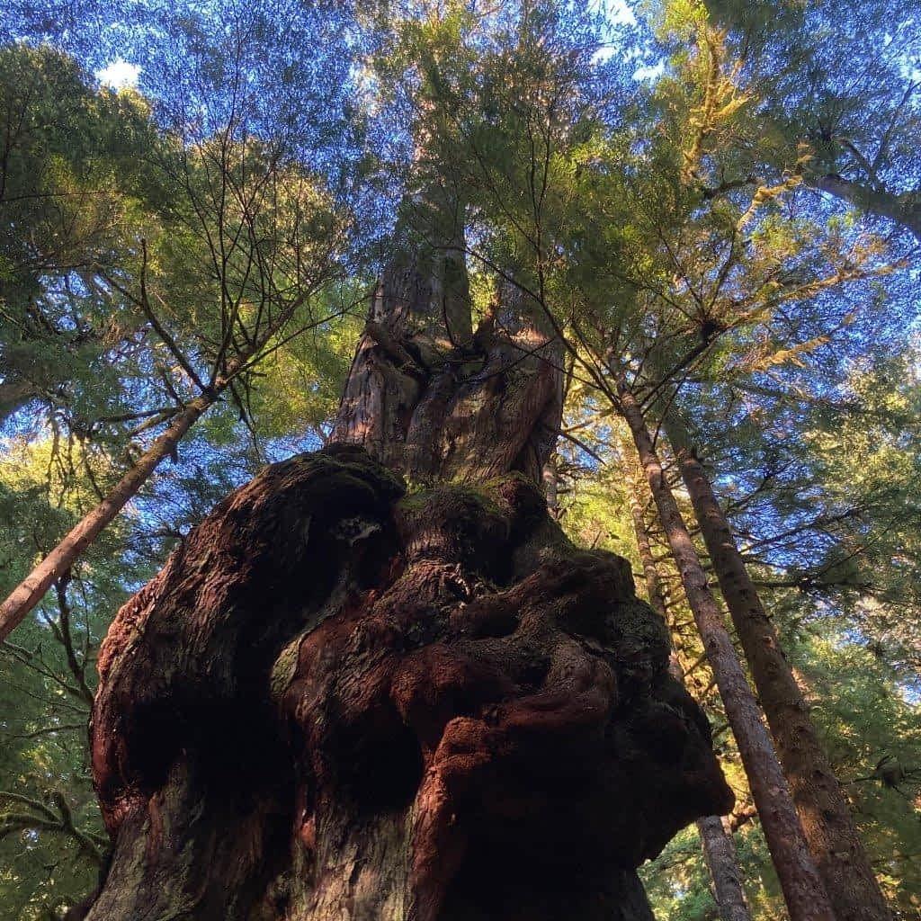 Canada's Gnarliest Tree, Avatar Grove BC