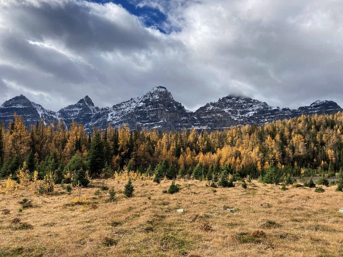 Yellow larch trees with mountains behind on one of the best easy Canmore hikes
